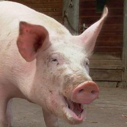 schwein gehabt die bedeutung des hausschweines in fr her zeit juni 2008. Black Bedroom Furniture Sets. Home Design Ideas